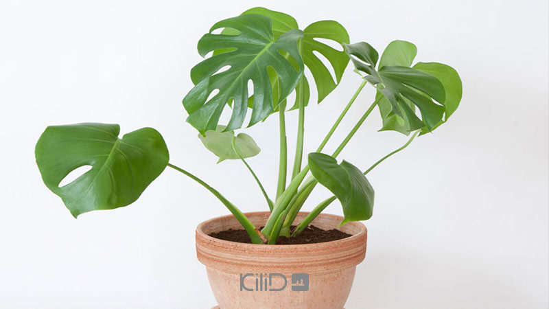 گیاهان آپارتمانی برگ انجیری